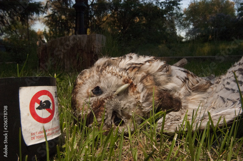 Keuken foto achterwand Uil Owl poisoned by rat poison. Eurasian Tawny Owl, Strix aluco