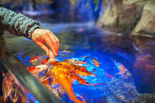 Male Hand Feeding Fish In Aqua...
