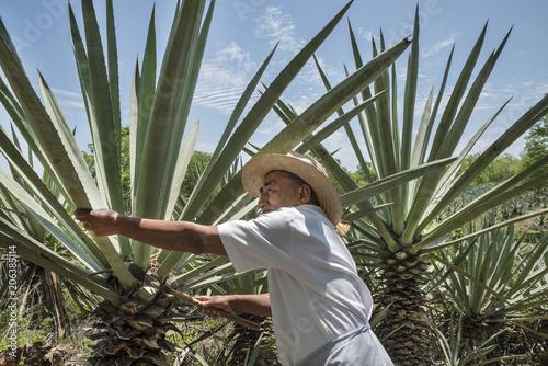 Leinwand Poster Henequen Cactus Farmer