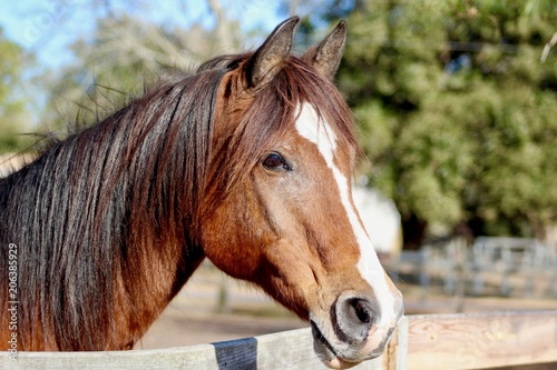 Bay horse with striking blaze