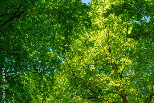 Obraz na płótnie Lush and green beech canopy on a sunny day
