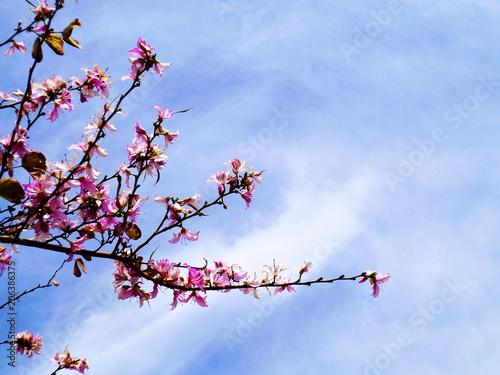 Ramas de los árboles con flores rosas y blancas en primavera ...