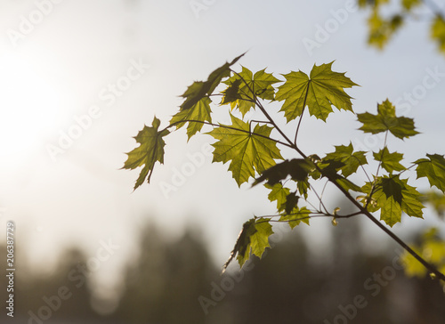 Fresh maple tree leaves against a sunset. Copy space.