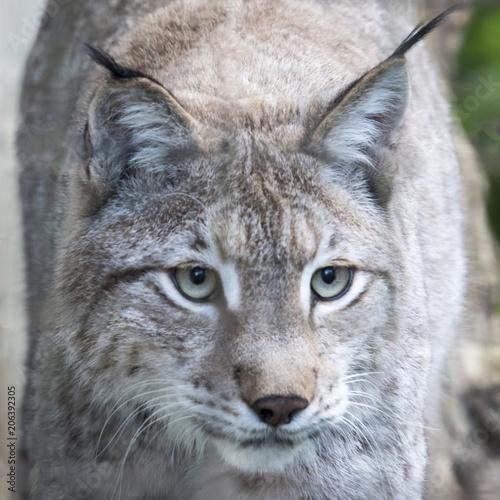 Foto op Plexiglas Lynx Eurasian Lynx in captivity