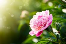 Beautiful Blooming Pink Peonies