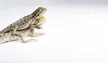 Agama. Two Baby Bearded Dragons On Bright Background.
