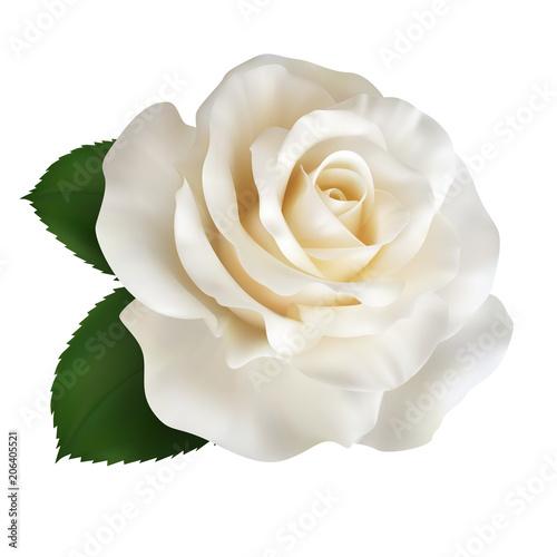 Realistic ivory white rose, Queen of beauty. Fototapeta