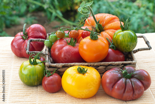 Fotografie, Obraz  Tomato Variety in a basket, Fresh Picked from the Garden and Home Grown on a table with Plants in the Background out in the yard