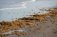 Algae Blooms Can Be A Problem For Our Beachs