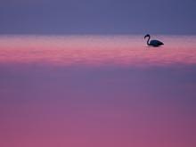 Greater Flamingo (Phoenicopterus Roseus) By Sunset, Greece