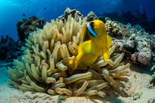 A Clown Fish Nestles Inside Of A Sea Anemone On Red Sea Reef.