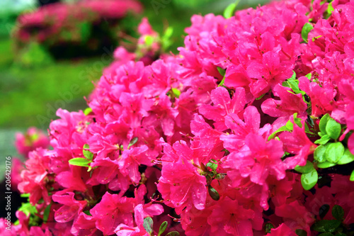 鮮やかなツツジ ショッキングピンクの花