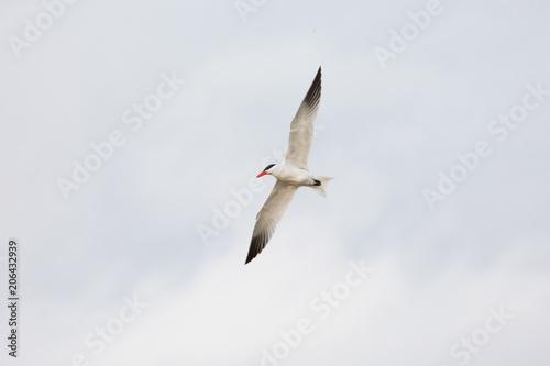 Flying Caspian Tern Poster