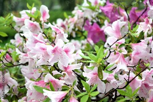 薄ピンクのツツジ 雨に濡れる花