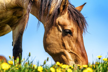 Horses Grazing On The Field Of...