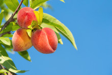 Sweet Peach Fruits Ripening On Peach Tree Branch In The Garden, Close-up. Blue Sky Background.