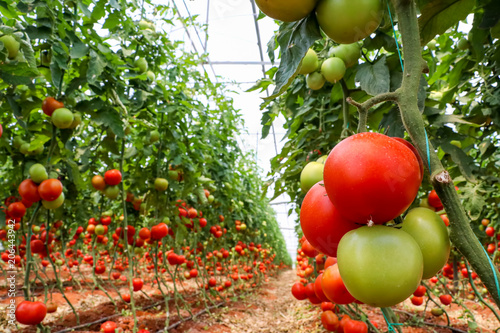 Fotografía Tomatoes field, greenhouse agriculture