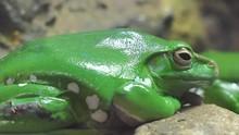 Chinese Flying Frog (Rhacophorus Dennysi)