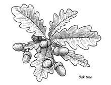 Oak Tree With Acorns Illustrat...
