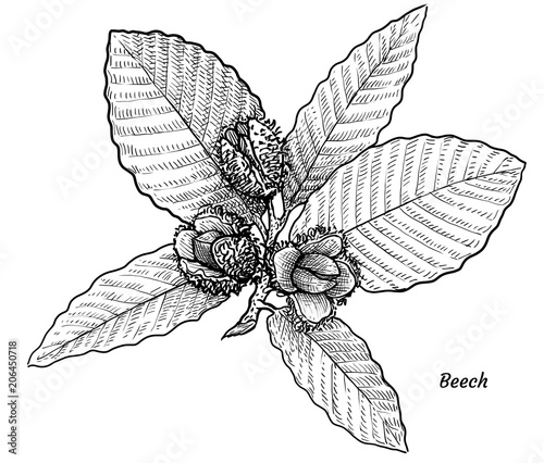Fotografía Beech with leaves and fruits illustration, drawing, engraving, ink, line art, ve
