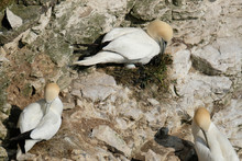 """Gannets Are Seabirds Comprising The Genus Morus, In The Family Sulidae, Closely Related To Boobies. """"Gannet"""" Is Derived From Old English Ganot """"strong Or Masculine""""."""