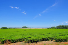 Beautiful Green Mate Tea Plantation Field In Province Misiones Argentina, South America