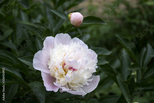 Fotografia  Beautiful blooming peony. Macro shot.
