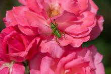 ピンク色のばら「芳純」の花の上のバッタ