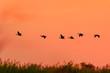 Flying ducks in Liwonde N.P. - Malawi