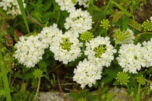 Blooming Lovely White Common G...