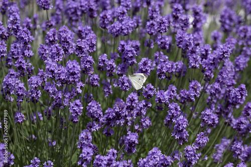 Fototapeta 蝶の食事
