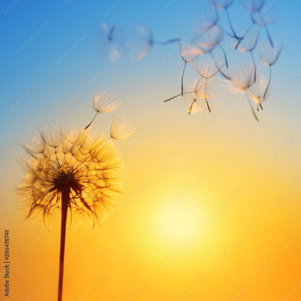 Fototapety, obrazy: Silhouette of dandelion against the backdrop of the setting sun. Macro photography wuth place for text. Summer concept.