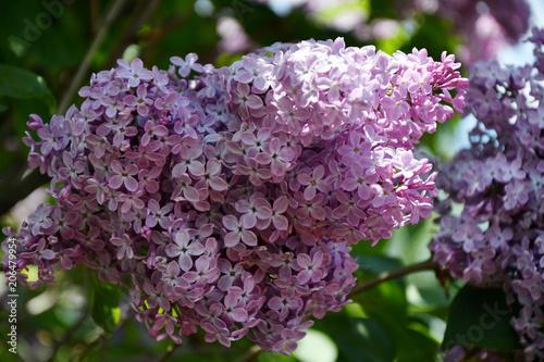 Foto op Canvas Lilac Sprig of lilac purple color