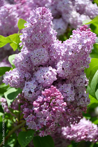 Foto op Aluminium Lilac Sprig of lilac purple color