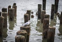 Seagull On Pile