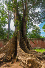 A Big Magnificent Silk-cotton Tree In The Enclosure Of The Famous Ta Prohm (Rajavihara) Temple In Angkor, Siem Reap, Cambodia.