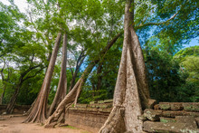 Several Big Silk-cotton Trees (Ceiba Pentandra) Or Thitpoks (Tetrameles Nudiflora) Grew Over The Reddish Wall Ruins Of The Famous Khmer Temple Ta Prohm (Rajavihara) In Angkor, Siem Reap, Cambodia.