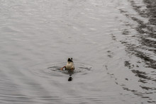 Duck Diving In The Water Looki...