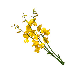 Broom Flowers On White Background. Selective Focus