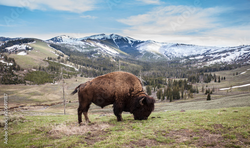 Foto op Canvas Bison Close up of a bison, american buffalo with a beautiful mountain background in Yellowstone National Park