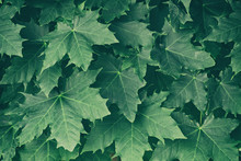 Green Maple Leaves On A Tree B...