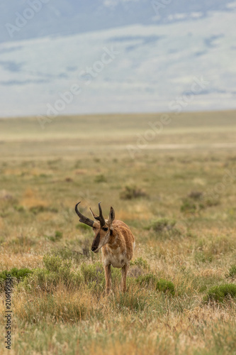 Photo  Pronghorn Antelope Buck