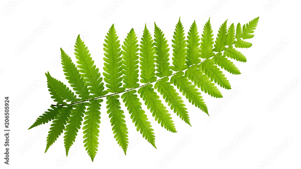 Fototapeta Green leaves fern tropical plant isolated on white background, clipping path included.