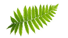 Green Leaves Fern Tropical Pla...