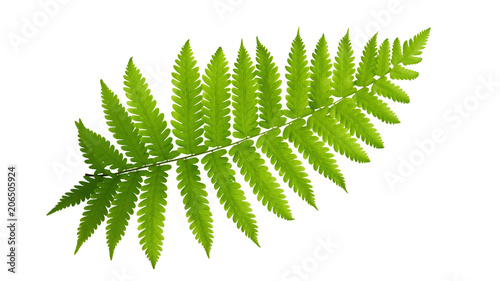 Obraz na plátně Green leaves fern tropical plant isolated on white background, clipping path included