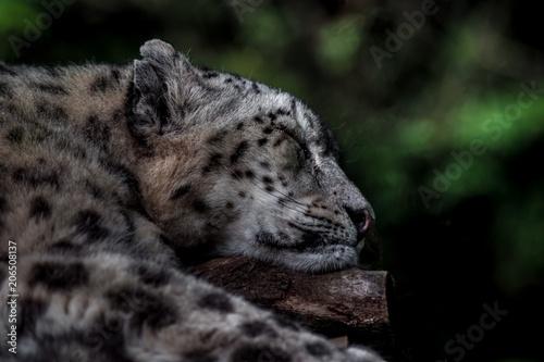 Fotobehang Luipaard Sleeping Snow leopard