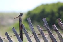 Bird Of Coastal Maine Sitting On Old Fence Post