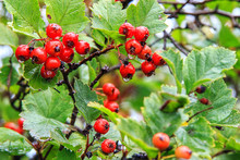 Red Wild Hawthorn Berries On Branches After Rain, Forest