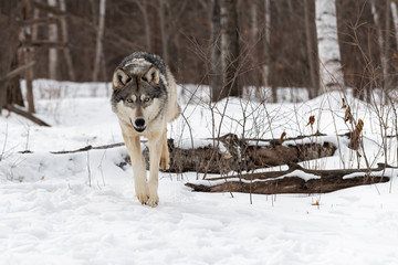 Grey Wolf (Canis lupus) Hops Over Log