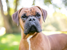 Close Up Of A Purebred Boxer D...